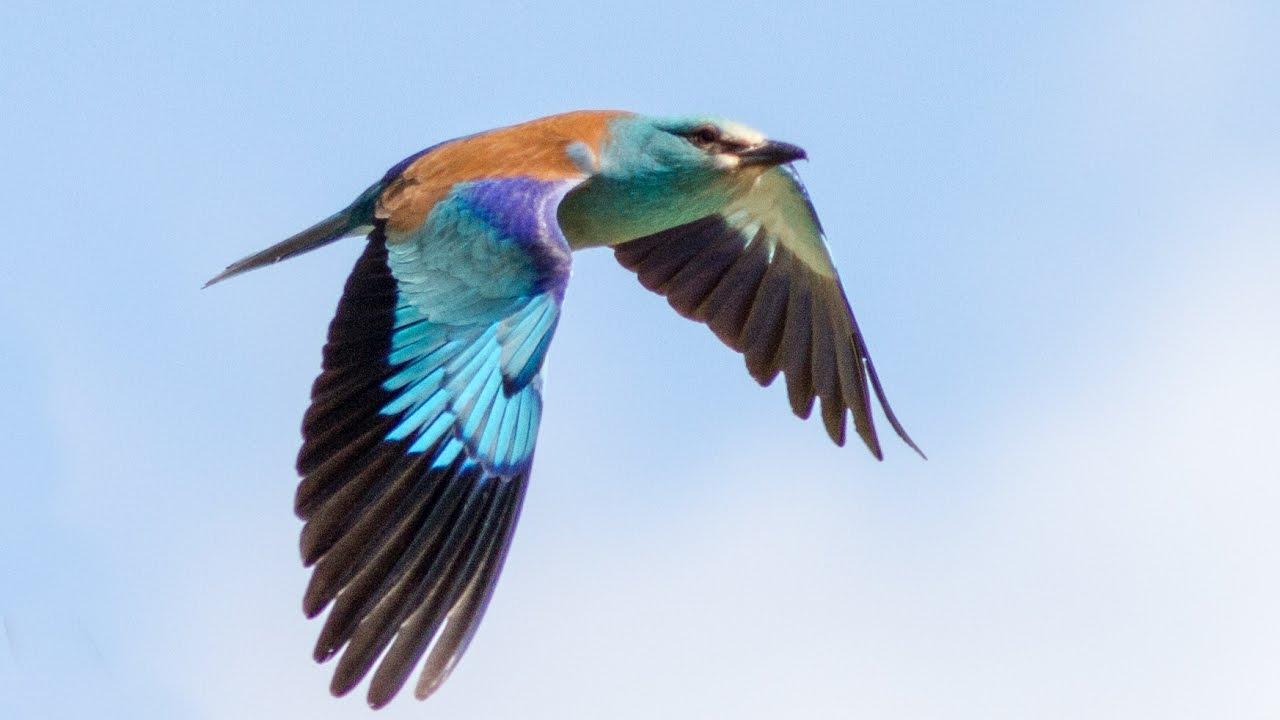 Photo oiseau Rollier d'Europe